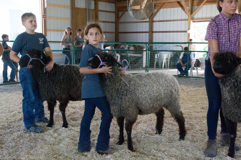 Gotland Sheep Show